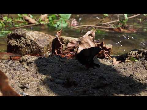 オオクジャクアゲハの翅を開かせる Papilio arcturus