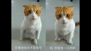 【抖音】会说人话的喵星人,这些猫都成精了,原谅我不厚道的笑了