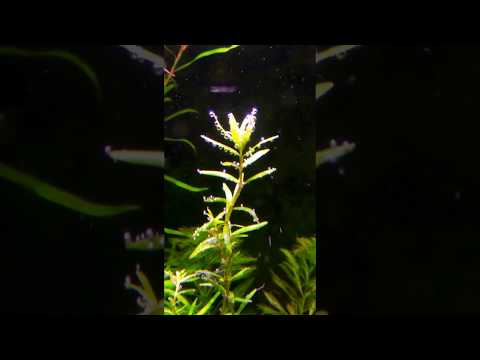 Rotala rotundifolia pearling