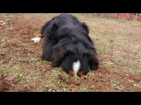 Funny Bernese Mountain Dog Compilation [English]