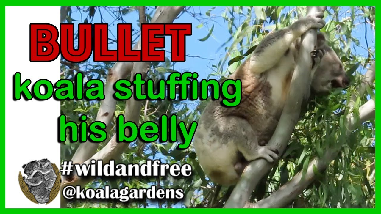 Bullet stuffs his belly