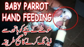 PARROT KO HAND FEED KARANAY KA SAHI TARIQA | (URDU / HINDI)