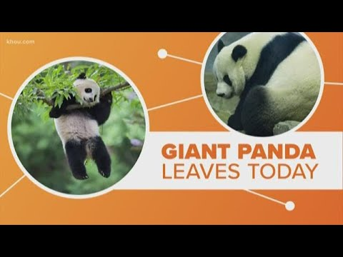 Connect the Dots | How did panda breeding partnership between U.S. and China begin?