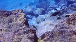 preview picture of video 'Labidochromis flavigulis at Chizumulu'