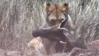 Lioness caught wildebeest   leona caza ñu 1母狮被捕到的牛羚leona cazañu1