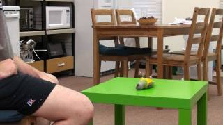 Kili Senegal Parrot - Play Dead Trick - YouTube
