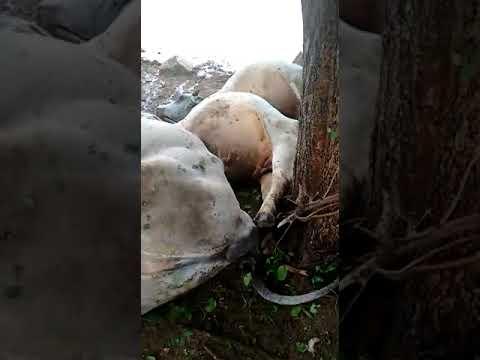 Raio cai em árvore e bois morrem com descarga elétrica em Botuporã