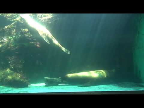 【涼しそうな動画】トドのヨネタローとコマチ