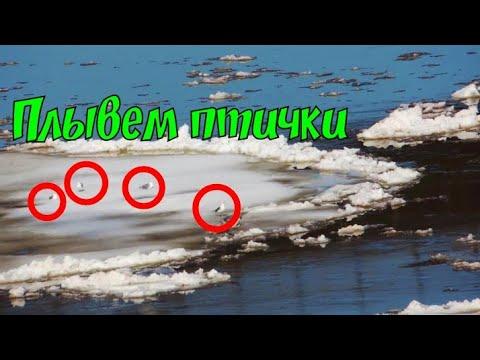 Чайки плывут на льдине