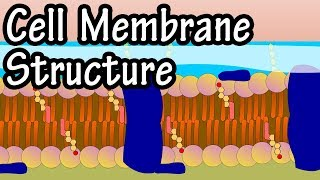 Cell Membrane Structure And Function - Function Of Plasma Membrane - What Is The Plasma Membrane