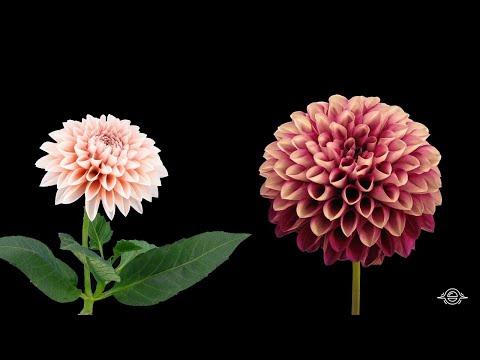 ¡Un Lapso De Tiempo De Flores Para Que Tu Alma Florezca De Alegría!