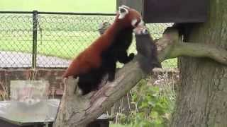 preview picture of video 'Red Panda -Tashi  carrying her young cub. Whipsnade Zoo 19thJuly2014'