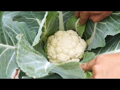 , title : 'Cauliflower Profile - White Cloud Hybrid + Recipe!