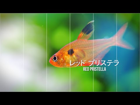 #42.美しい赤系小型熱帯魚 ハイフェソブリコン5種類+1 Red hyphessobrycon 5 types