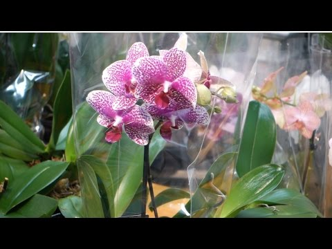 , title : 'Phalaenopsis Orchids: Watering, Lighting and Fertilizing