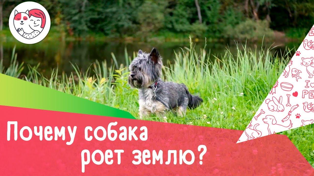 5 распространенных причин, почему собака роет землю