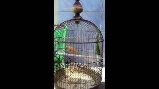 Burung Kenari Belajar Ngeriwik
