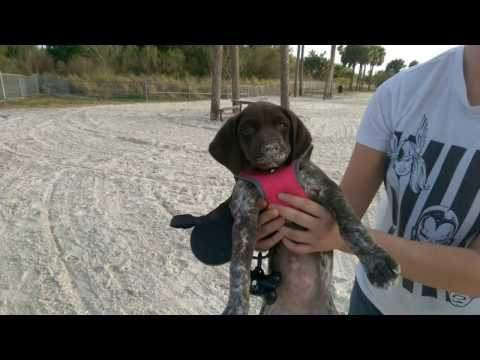 First week with my German Shorthaired Pointer puppy