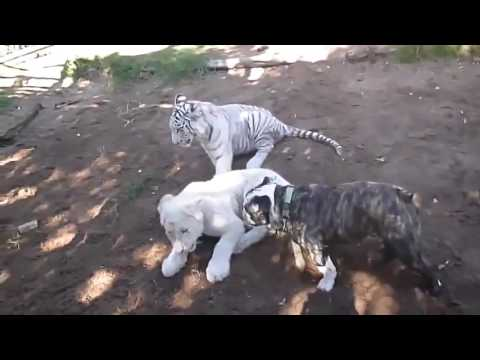 Baby Lion, Tiger, Dog, Monkey In Real Fight (Funny Friendship) Funny Animal Attacks Video