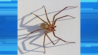 Man is Suing a Homeowner for Brown Recluse Bite