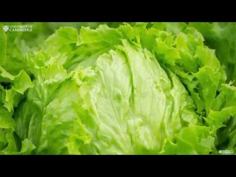 Introducing the lettuce peeling robot