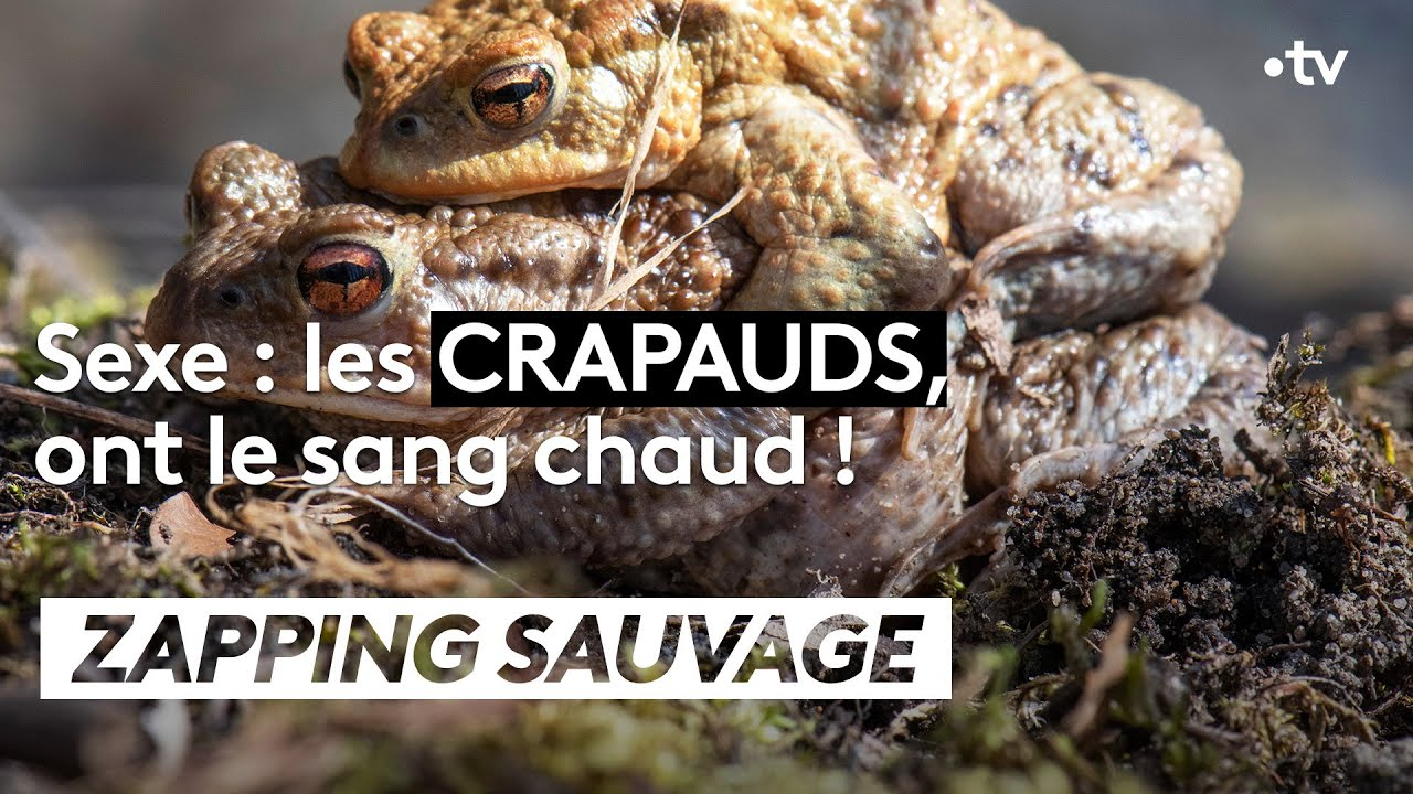 Sexe : les crapauds ont le sang chaud ! - ZAPPING SAUVAGE