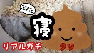 リアルガチ寝💩からの食糞【ハムスター】トラ 【ジャンガリアンハムスター】part2 Djungarian hamster