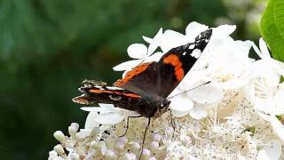 preview picture of video 'Panasonic TZ10 red admiral'