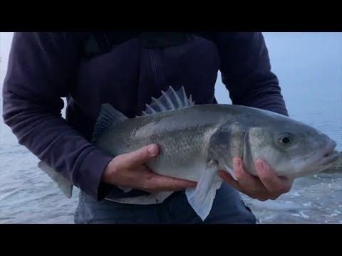 Havbarsfiskeri med levende makrel som agn