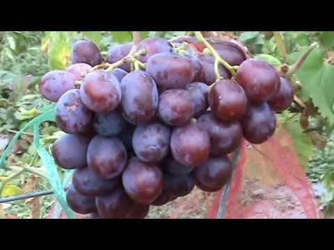 Сорта винограда Граф Монте Кристо