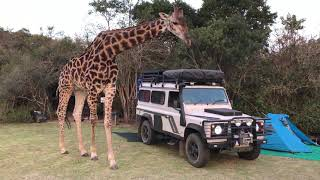 CRAZY STORY  Overly Friendly Giraffe Surprises Campers