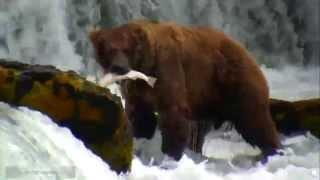 Природа Аляски Медведи ловят рыбу в водопаде Сезон 2015 Ч 2 Утренний жор у косолапых