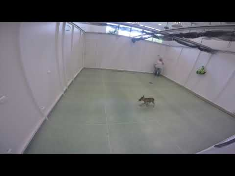 These Wolves Can Play Fetch!