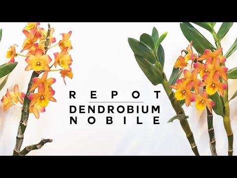 , title : 'Repot A Dendrobium Orchid Like A PRO ● Beginner Friendly Tutorial