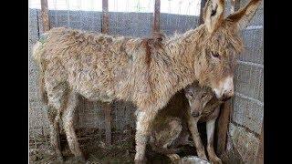 Чтобы накормить пойманного волка, посадили к нему в клетку старого ослика. Но волк удивил всех