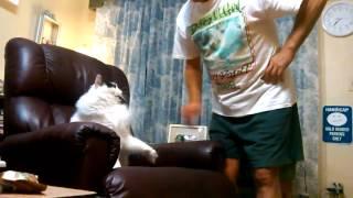 Кот защищает кресло!