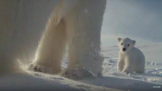 Polar Bear Helps Film Her Own Cub | BBC Earth