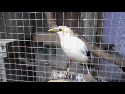 Video GT-PB #1. Penangkaran Burung Jalak Putih, Gampang Dilakukan.!
