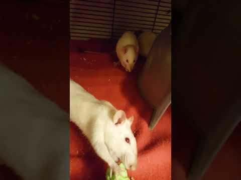 Marimba, an adoptable Rat in Saint Paul, MN