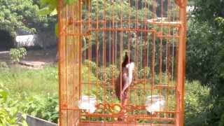 preview picture of video 'Chào mào đang thay lông (Hà Tĩnh)'