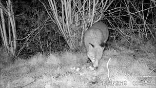 Wildlife Trail Camera - 21.1.2019