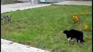 Битва - Кот против Собаки