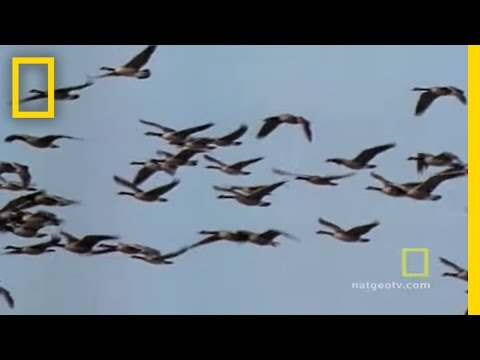 , title : 'Geese Fly Together | National Geographic