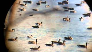 preview picture of video 'Bernache nonnette (Barnacle Goose) @ Saint-Jean-sur-Richelieu 16nov2012'