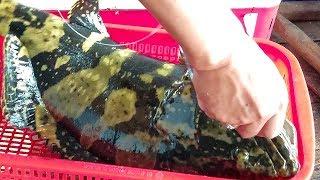 Câu Cá Mú gần 5 Ký làm 3 món ở Hòn Tý Cam Ranh l Cường giật cá đã tay