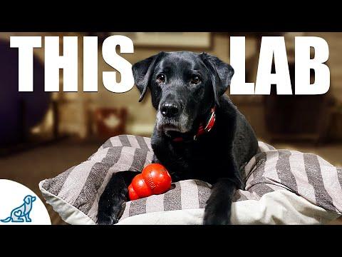 10 Lessons A Labrador Retriever Taught Me About Dog Training ...