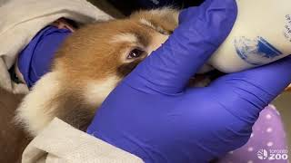 Toronto Zoo Baby Red Panda - A Day In The Life Of A Keeper