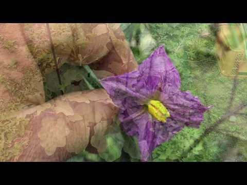 動画で家庭菜園『白ナスの花は白いのか?』普通のナスと白ナスを比べてみました。