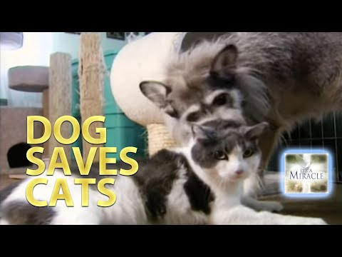 Dog Saves Cats - It's A Miracle - 6033