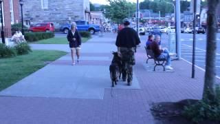 German Shepherd for personal protection loose on crowded sidewalks